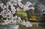cherry tree petals blossom spring water tree